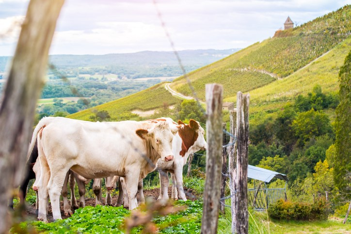 Photo of cows and vineyard for Williams Corner Wine